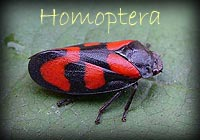 Enter Homoptera Gallery