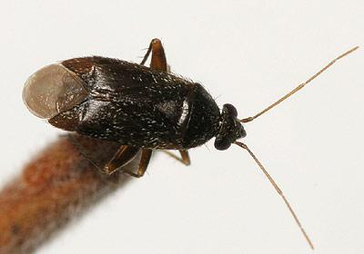Miridae Phoenicocoris Obscurellus