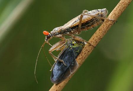 . British Bugs Home   An online identification guide to UK Hemiptera