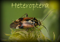 Enter Heteroptera Gallery