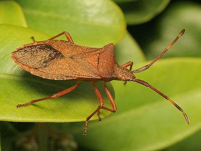coreidae gonocerus acuteangulatus