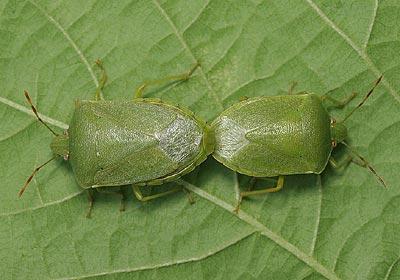 Pentatomidae) Nezara viridula Southern Green Shieldbug