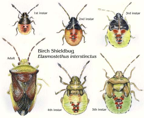 Shieldbugs Illustrated Life Stages