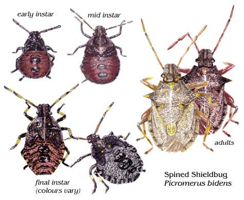 Shieldbugs - illustrated life stages