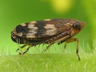 Leafhopper (Aphrodes albifrons)