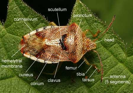 Bug anatomy, taxonomy & ecology